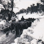 Cattle along Long Plain July 1964 Lac Maxwell and Noel Sephton