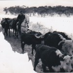 Clyde Miller last of the cattle along Long Plain July 1964